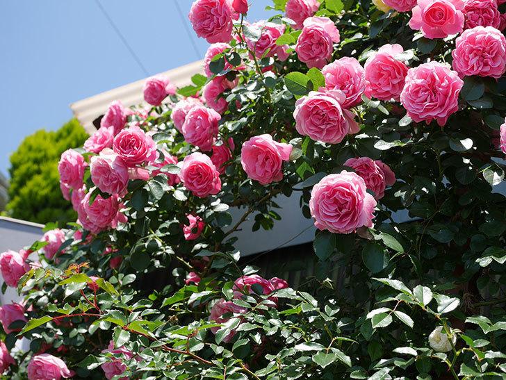 レオナルド・ダ・ヴィンチ(ツルバラ)の花が満開になった。2019年-6.jpg