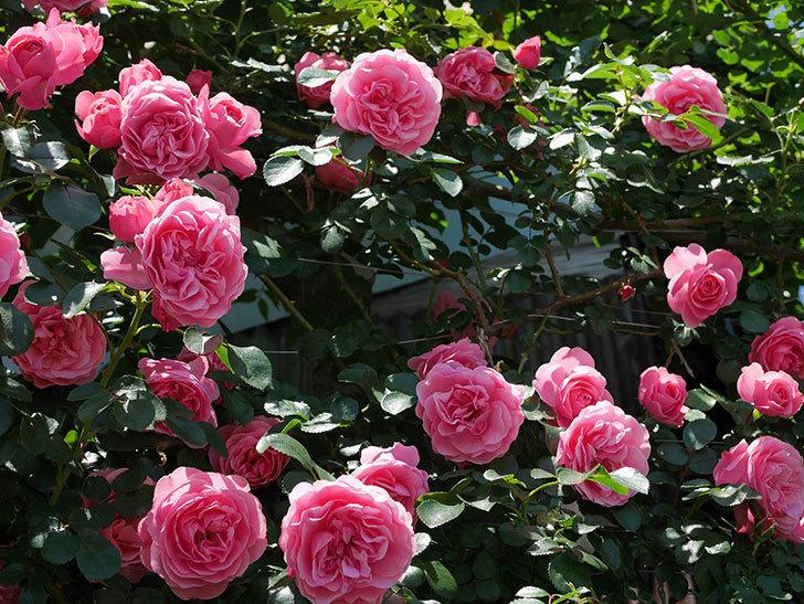 レオナルド・ダ・ヴィンチ(ツルバラ)の花が満開になった。2019年-7.jpg