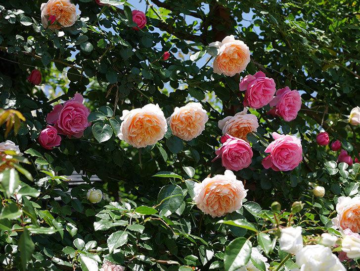 レオナルド・ダ・ヴィンチ(ツルバラ)の花が満開になった。2019年-8.jpg