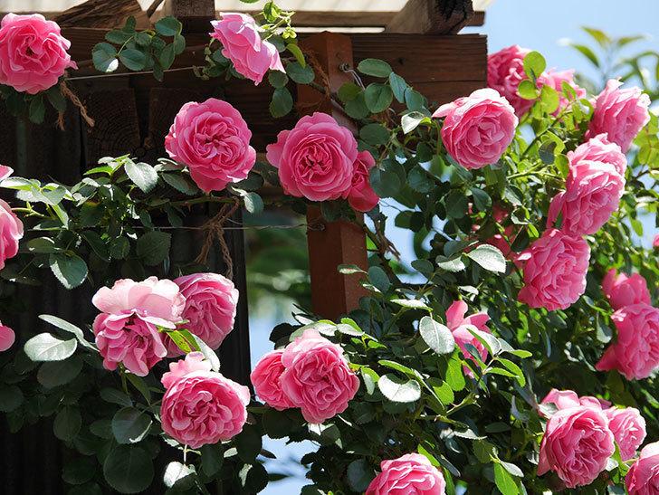 レオナルド・ダ・ヴィンチ(ツルバラ)の花が満開になった。2019年-9.jpg
