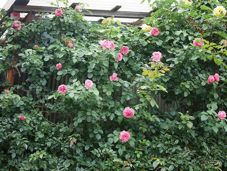 レオナルド・ダ・ヴィンチ(半ツルバラ)の2番花がたくさん咲いた。2019年-1.jpg