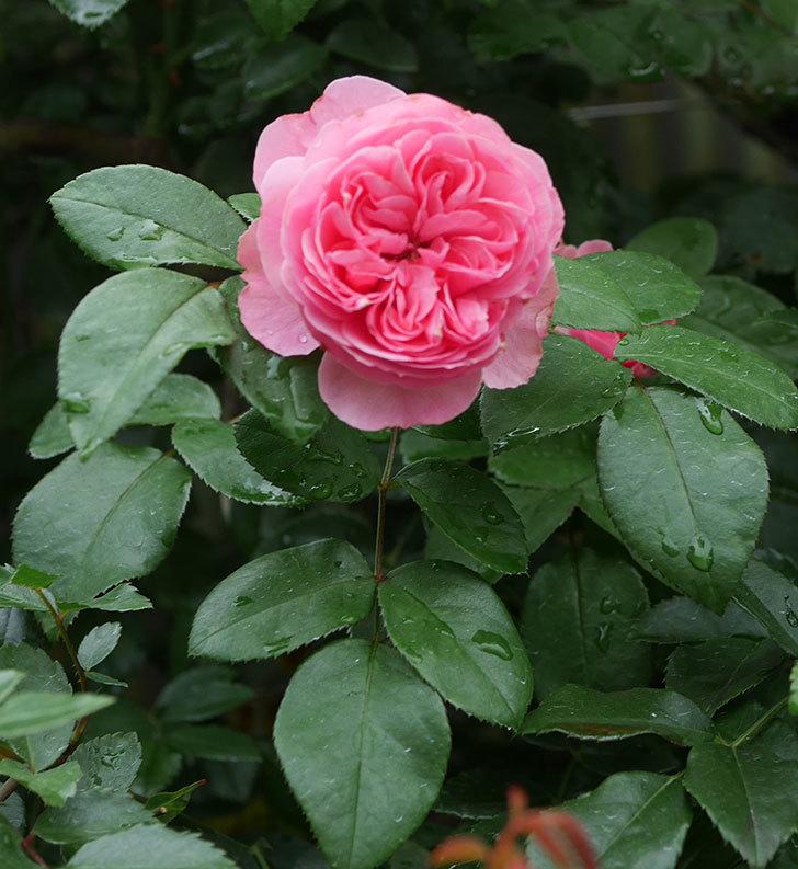 レオナルド・ダ・ヴィンチ(半ツルバラ)の2番花がたくさん咲いた。2019年-10.jpg