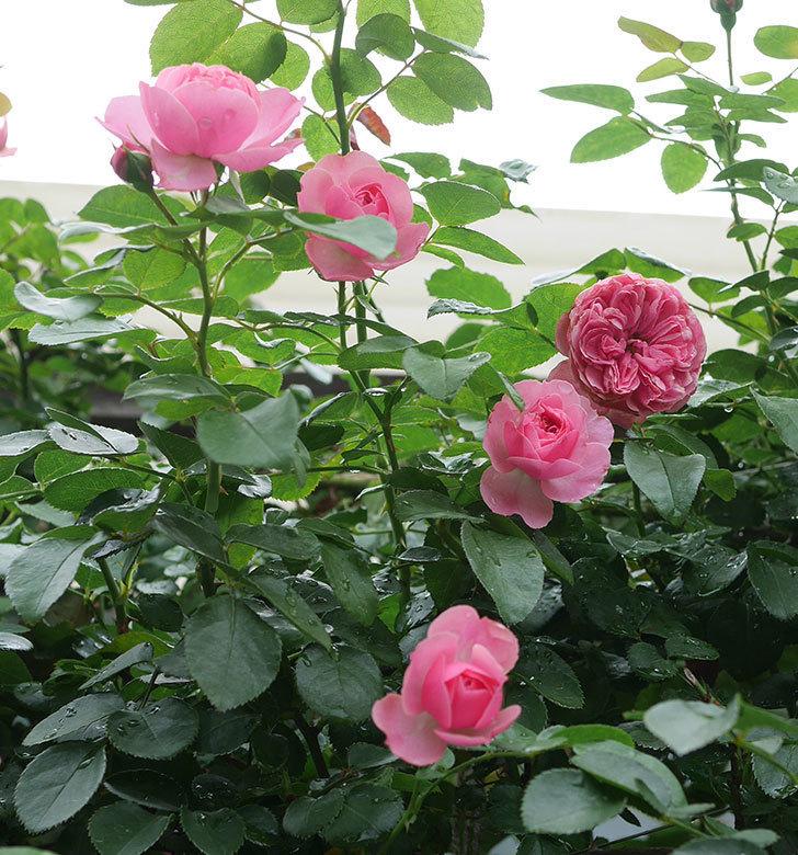 レオナルド・ダ・ヴィンチ(半ツルバラ)の2番花がたくさん咲いた。2019年-11.jpg