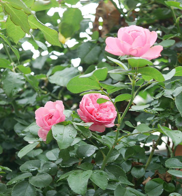 レオナルド・ダ・ヴィンチ(半ツルバラ)の2番花がたくさん咲いた。2019年-12.jpg