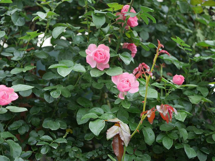 レオナルド・ダ・ヴィンチ(半ツルバラ)の2番花がたくさん咲いた。2019年-13.jpg