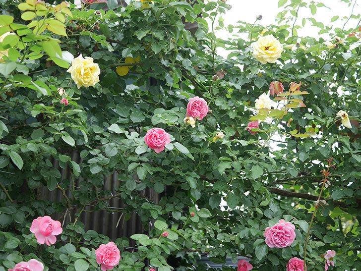 レオナルド・ダ・ヴィンチ(半ツルバラ)の2番花がたくさん咲いた。2019年-14.jpg