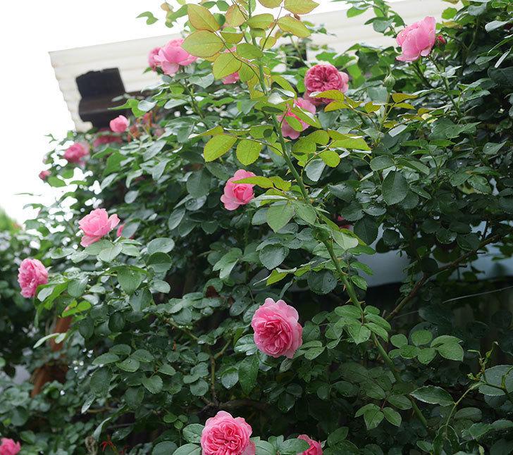 レオナルド・ダ・ヴィンチ(半ツルバラ)の2番花がたくさん咲いた。2019年-16.jpg