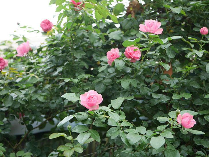 レオナルド・ダ・ヴィンチ(半ツルバラ)の2番花がたくさん咲いた。2019年-17.jpg