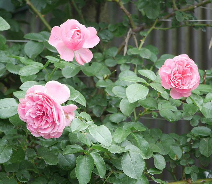 レオナルド・ダ・ヴィンチ(半ツルバラ)の2番花がたくさん咲いた。2019年-2.jpg