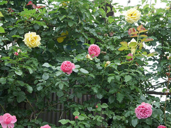 レオナルド・ダ・ヴィンチ(半ツルバラ)の2番花がたくさん咲いた。2019年-3.jpg
