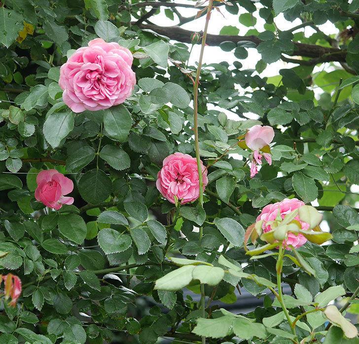 レオナルド・ダ・ヴィンチ(半ツルバラ)の2番花がたくさん咲いた。2019年-4.jpg