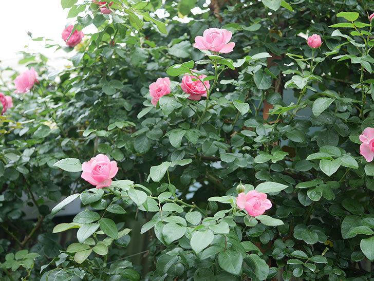 レオナルド・ダ・ヴィンチ(半ツルバラ)の2番花がたくさん咲いた。2019年-6.jpg