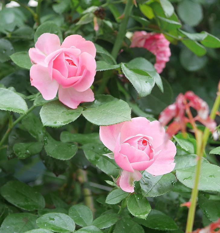 レオナルド・ダ・ヴィンチ(半ツルバラ)の2番花がたくさん咲いた。2019年-7.jpg