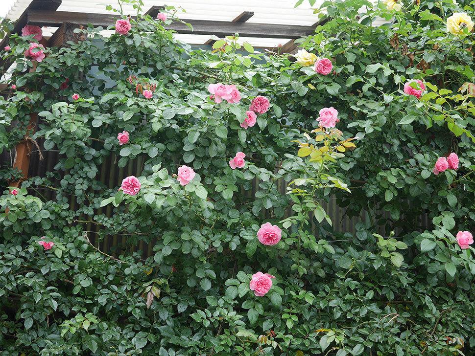レオナルド・ダ・ヴィンチ(半ツルバラ)の2番花がたくさん咲いた。2019年-9.jpg