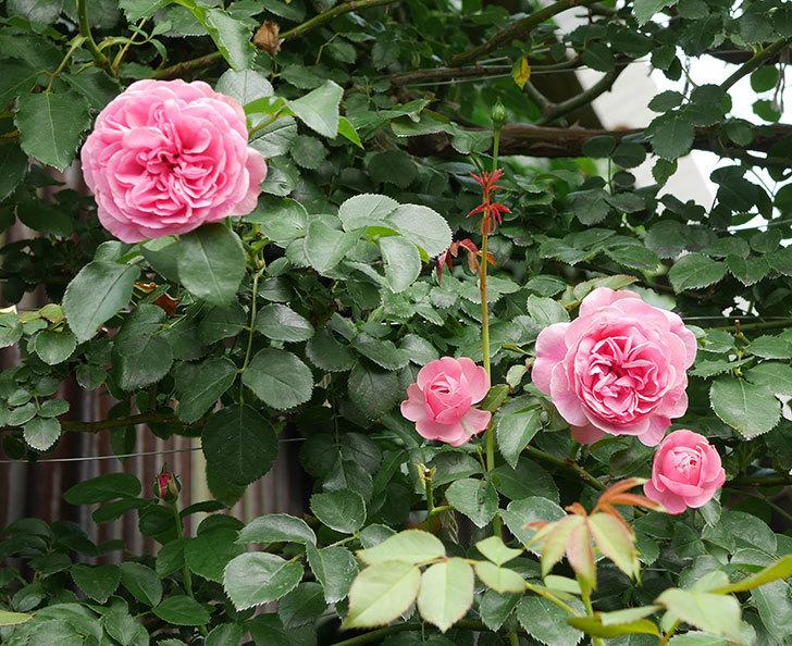 レオナルド・ダ・ヴィンチ(半ツルバラ)の2番花が咲いた。2019年-1.jpg