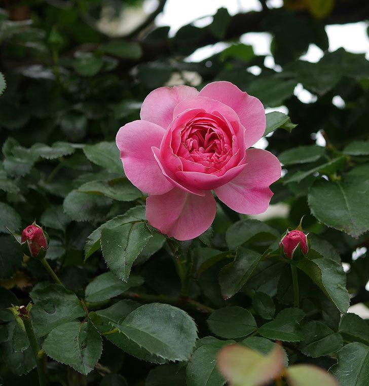 レオナルド・ダ・ヴィンチ(半ツルバラ)の2番花が咲いた。2019年-10.jpg