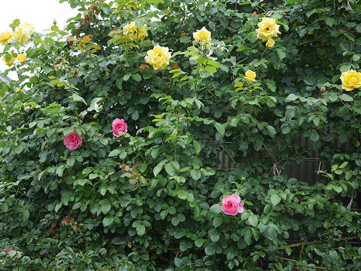 レオナルド・ダ・ヴィンチ(半ツルバラ)の2番花が咲いた。2019年-12.jpg