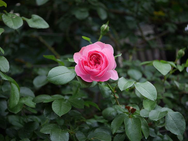 レオナルド・ダ・ヴィンチ(半ツルバラ)の2番花が咲いた。2019年-13.jpg