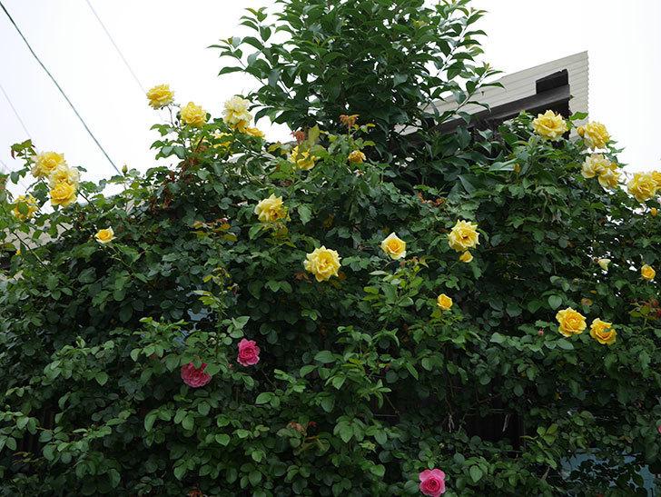 レオナルド・ダ・ヴィンチ(半ツルバラ)の2番花が咲いた。2019年-14.jpg