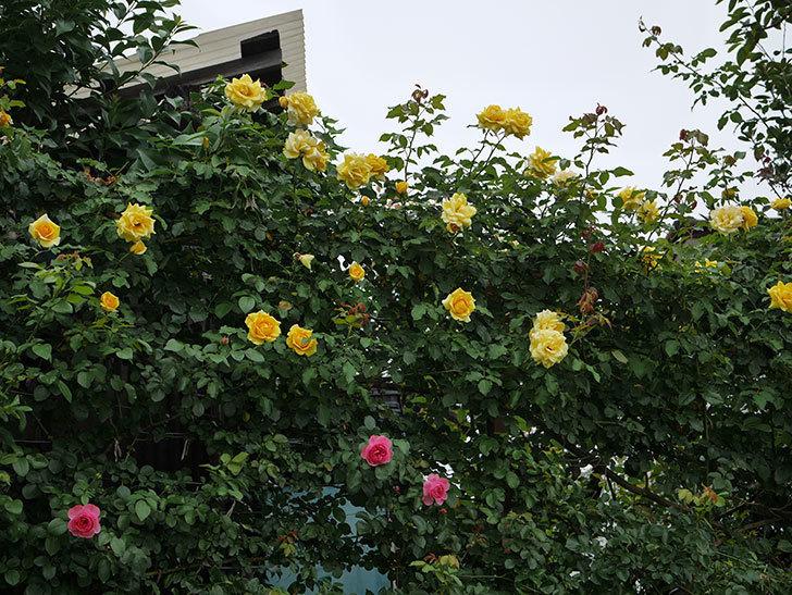 レオナルド・ダ・ヴィンチ(半ツルバラ)の2番花が咲いた。2019年-15.jpg