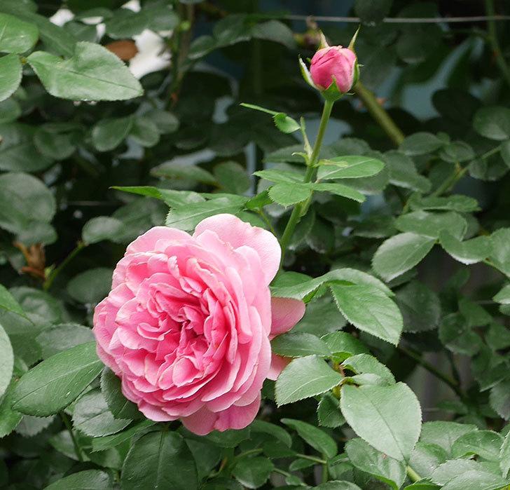 レオナルド・ダ・ヴィンチ(半ツルバラ)の2番花が咲いた。2019年-2.jpg