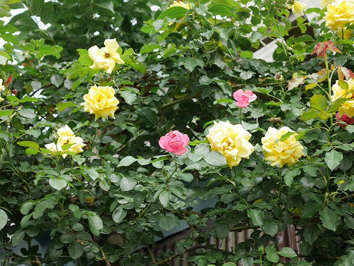 レオナルド・ダ・ヴィンチ(半ツルバラ)の2番花が咲いた。2019年-3.jpg