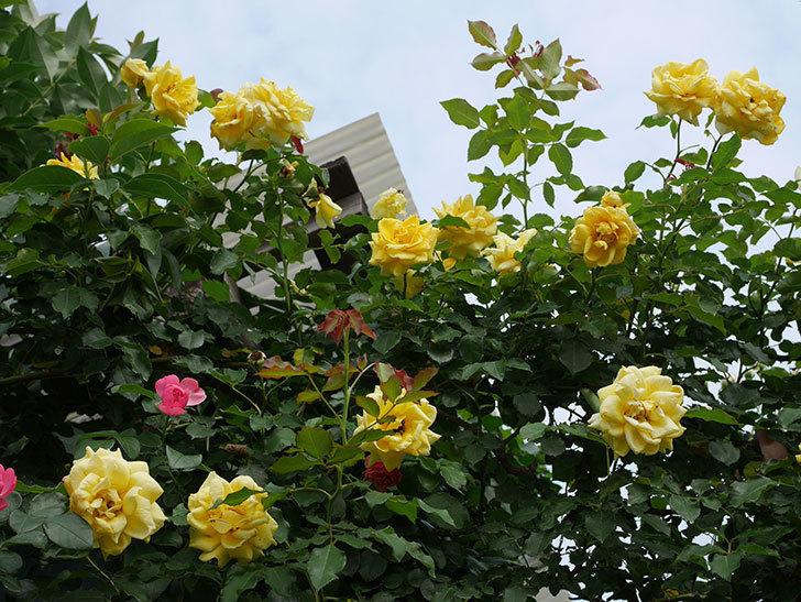 レオナルド・ダ・ヴィンチ(半ツルバラ)の2番花が咲いた。2019年-4.jpg