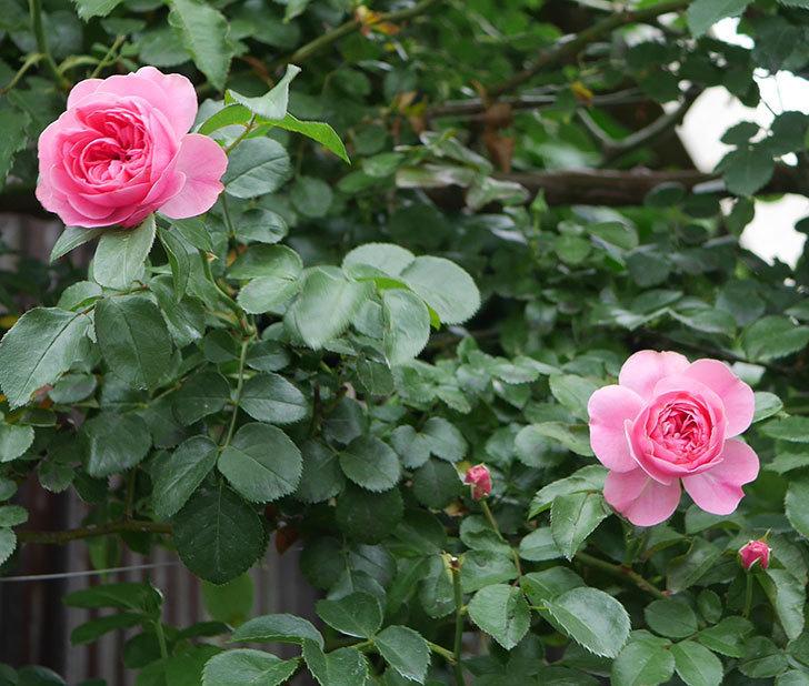 レオナルド・ダ・ヴィンチ(半ツルバラ)の2番花が咲いた。2019年-5.jpg