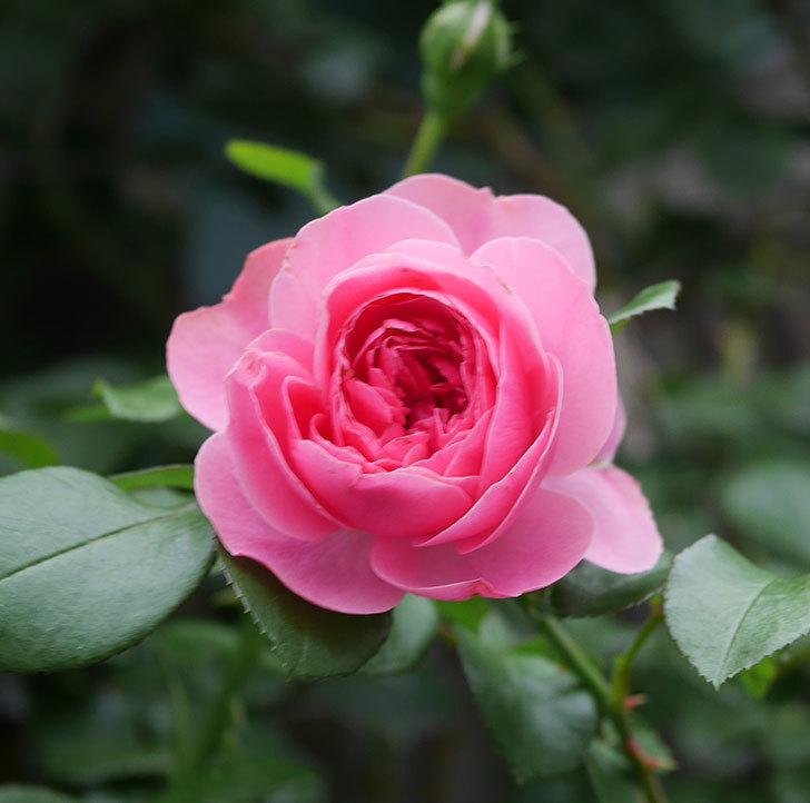 レオナルド・ダ・ヴィンチ(半ツルバラ)の2番花が咲いた。2019年-6.jpg
