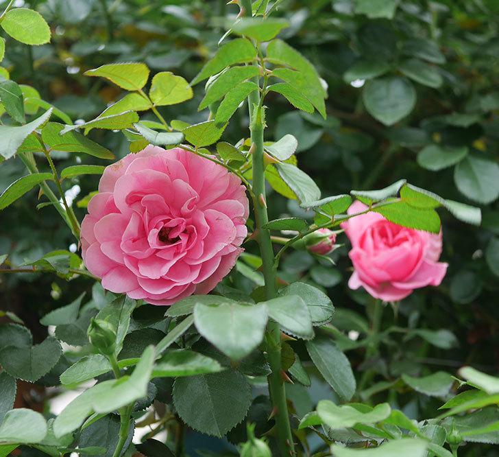 レオナルド・ダ・ヴィンチ(半ツルバラ)の2番花が咲いた。2019年-8.jpg