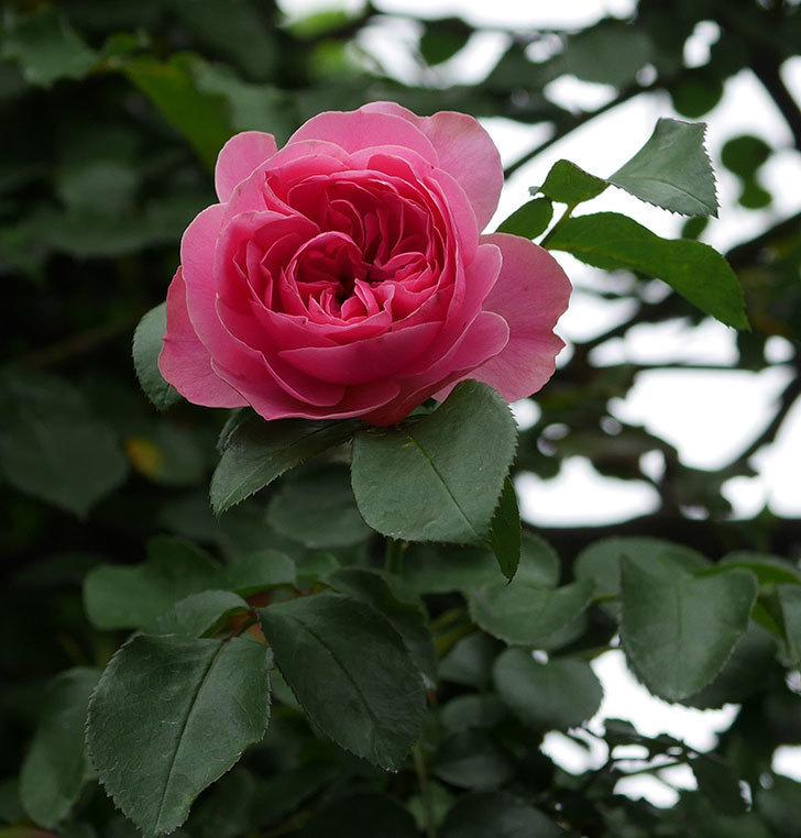 レオナルド・ダ・ヴィンチ(半ツルバラ)の2番花が咲いた。2019年-9.jpg