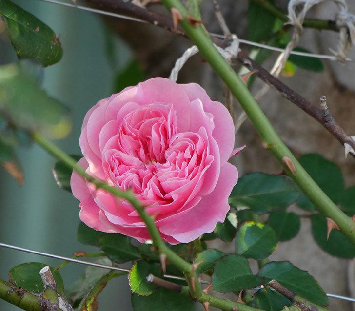 レオナルド・ダ・ヴィンチ(半ツルバラ)の花が1個咲いた。2019年-1.jpg
