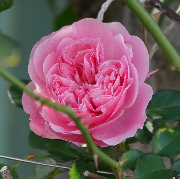 レオナルド・ダ・ヴィンチ(半ツルバラ)の花が1個咲いた。2019年-2.jpg