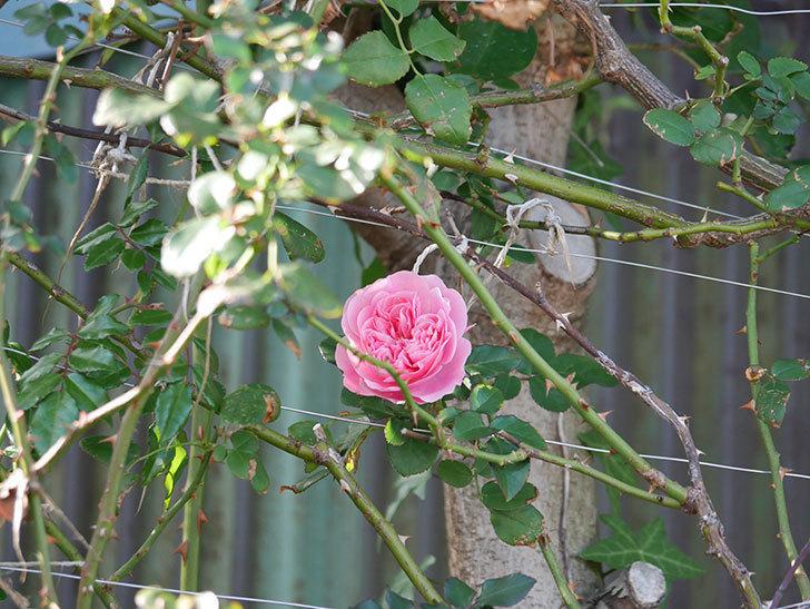レオナルド・ダ・ヴィンチ(半ツルバラ)の花が1個咲いた。2019年-3.jpg