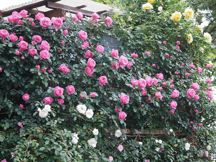 レオナルド・ダ・ヴィンチ(半ツルバラ)の花がたくさん咲いた。2020年-001.jpg