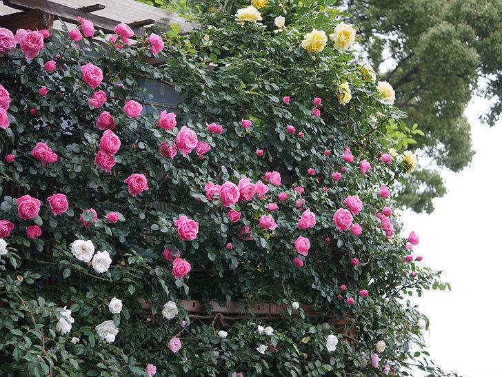 レオナルド・ダ・ヴィンチ(半ツルバラ)の花がたくさん咲いた。2020年-002.jpg