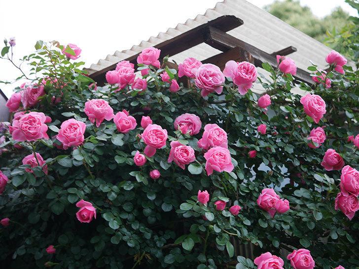 レオナルド・ダ・ヴィンチ(半ツルバラ)の花がたくさん咲いた。2020年-003.jpg