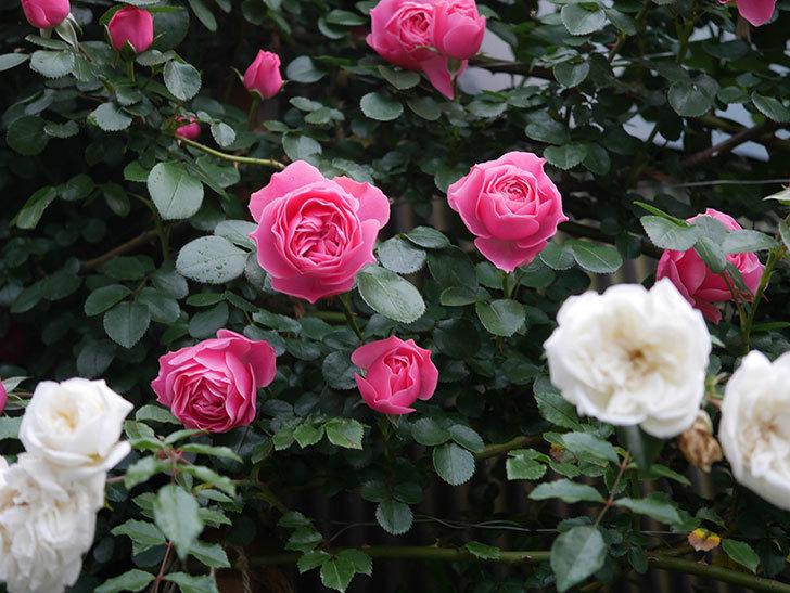 レオナルド・ダ・ヴィンチ(半ツルバラ)の花がたくさん咲いた。2020年-005.jpg