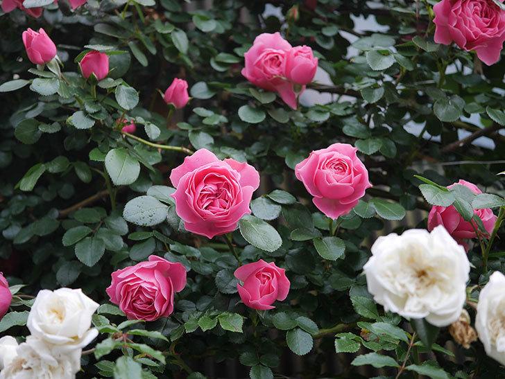 レオナルド・ダ・ヴィンチ(半ツルバラ)の花がたくさん咲いた。2020年-006.jpg
