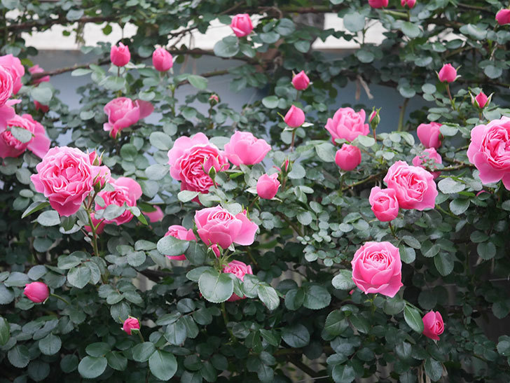 レオナルド・ダ・ヴィンチ(半ツルバラ)の花がたくさん咲いた。2020年-007.jpg