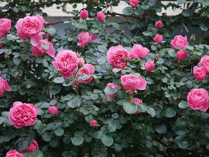 レオナルド・ダ・ヴィンチ(半ツルバラ)の花がたくさん咲いた。2020年-008.jpg