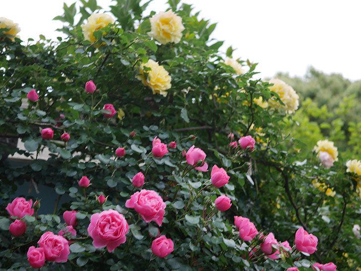 レオナルド・ダ・ヴィンチ(半ツルバラ)の花がたくさん咲いた。2020年-009.jpg