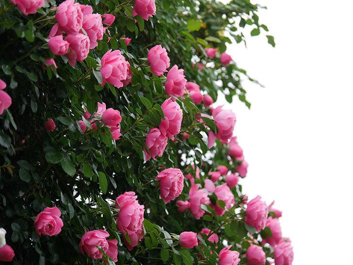レオナルド・ダ・ヴィンチ(半ツルバラ)の花がたくさん咲いた。2020年-010.jpg