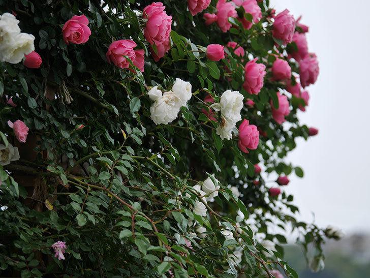 レオナルド・ダ・ヴィンチ(半ツルバラ)の花がたくさん咲いた。2020年-011.jpg