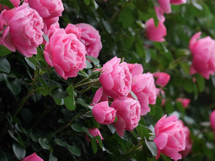 レオナルド・ダ・ヴィンチ(半ツルバラ)の花がたくさん咲いた。2020年-012.jpg