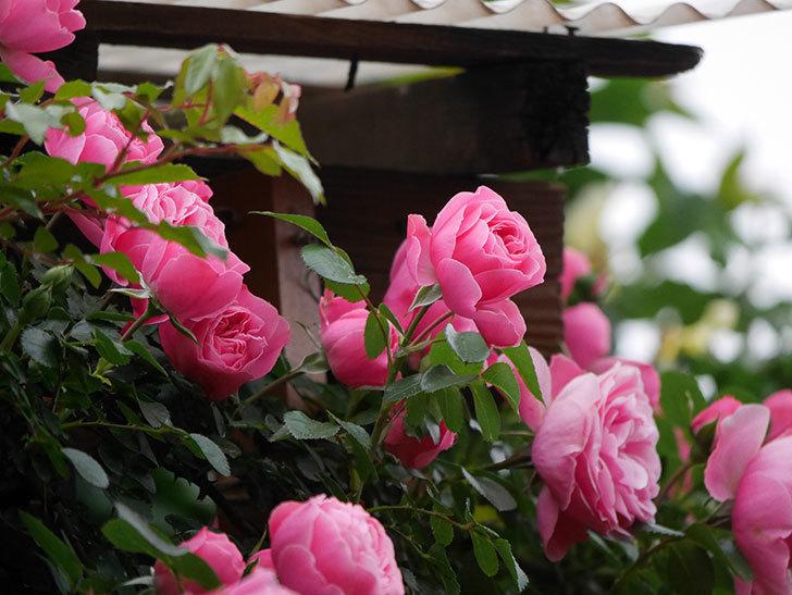 レオナルド・ダ・ヴィンチ(半ツルバラ)の花がたくさん咲いた。2020年-013.jpg