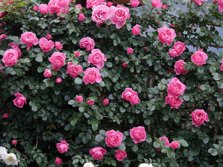 レオナルド・ダ・ヴィンチ(半ツルバラ)の花がたくさん咲いた。2020年-015.jpg
