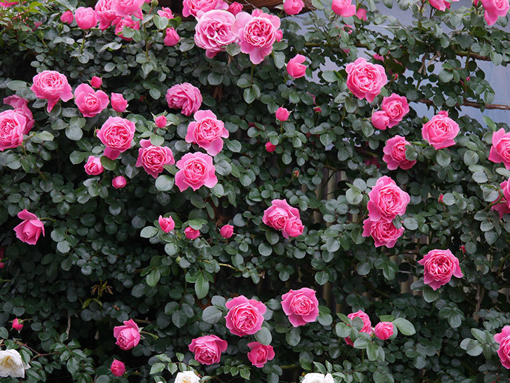 レオナルド・ダ・ヴィンチ(半ツルバラ)の花がたくさん咲いた。2020年-016.jpg