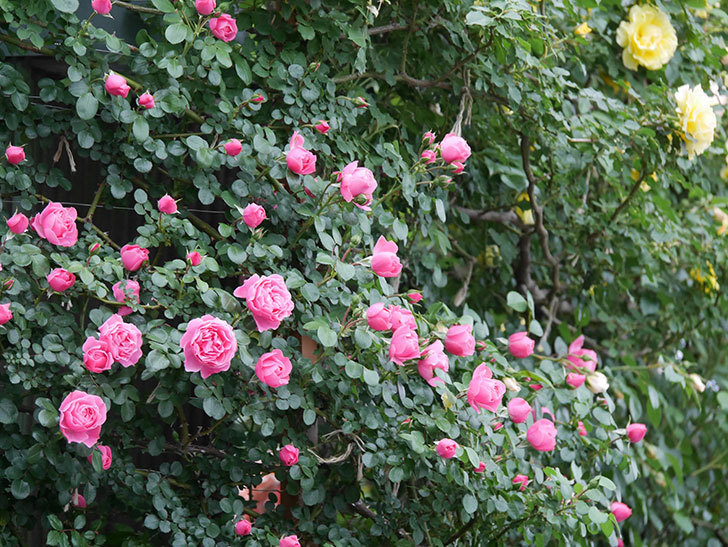 レオナルド・ダ・ヴィンチ(半ツルバラ)の花がたくさん咲いた。2020年-017.jpg