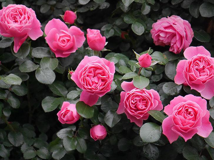 レオナルド・ダ・ヴィンチ(半ツルバラ)の花がたくさん咲いた。2020年-020.jpg